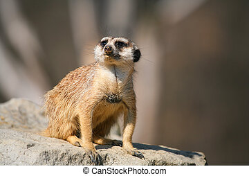 Suricate sitting on a stone. Sort:Suricata suricatta