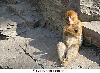 Macaque - Barbary macaque on a rock. Sort:Macaca sylvanus