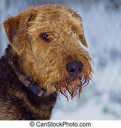 Airedale terrier dog in the snow