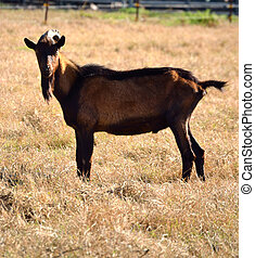 Red Brown Goat Square - goat, farm, rural, mammal, pasture,...