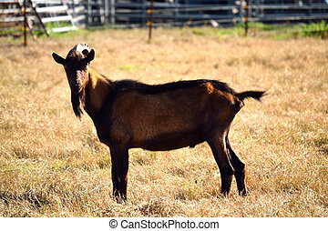 Red Brown Goat