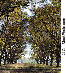 Tall Pecan Grove Row