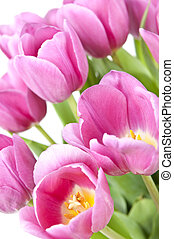 Pink tulips with green leaves on white background