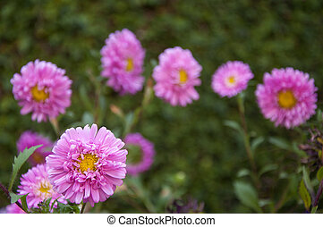 Asters Amidst Greenery - Pink Asters Amidst Greenery