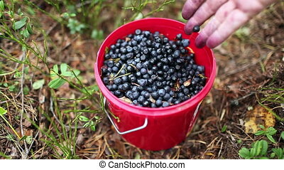 Full bucket of blueberries - The Full bucket of a fresh...