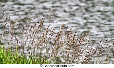 Slo-Mo Lalang Grass By The Pond 6 - Lalang Grass by the pond...