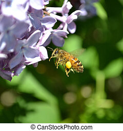 A bee with pollen - A flying bee with pollen