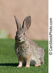 Desert Cottontail Rabbit - a cute desert cottontail rabbit