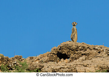 Suricate sentry standing in the early morning sun blue sky...