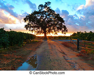Lodi California Vineyards - Oak tree at sunset in Lodi Ca