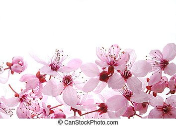 pink cherry flowers - Close-up of pink cherry flowers...