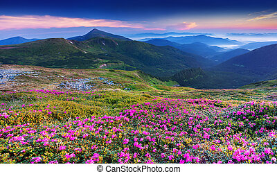 Magic pink rhododendron flowers in the mountains. Sunrise