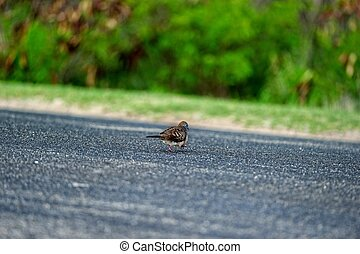 Zebra Dove crossing the road in Hawaii island