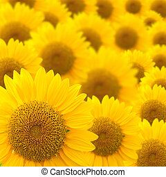 sunflower background - beautiful sunflowers abstract for...