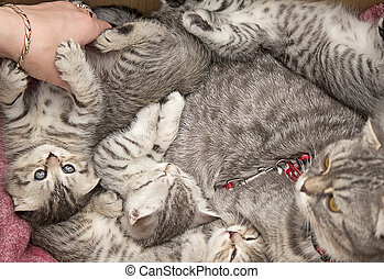 Beautiful pedigreed cat and her kittens.