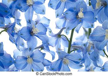 delphinium - Studio Shot of Aqua and Blue Colored Delphinium...