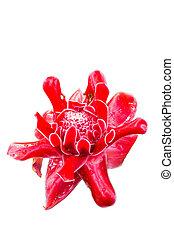 Red flower of etlingera elatior a White background -...