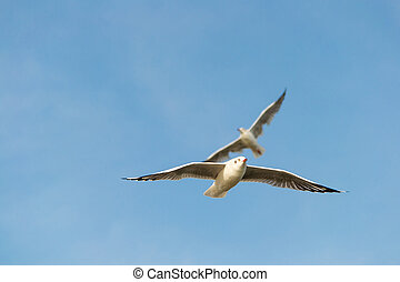 Bellied gull wings fly cruise - Two seagulls flying with the...