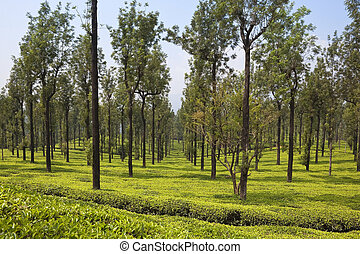 silk oak trees and tea - silk oak trees grevillea robusta...