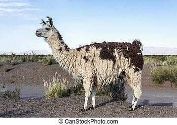 Llama in Salinas Grandes in Jujuy, Argentina. - Llama in...