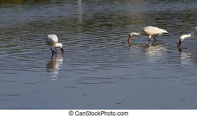 Group of spoonbill birds looking for food
