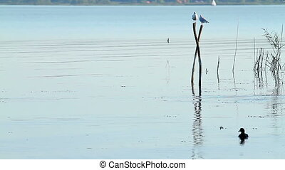 Waterbird on the lake