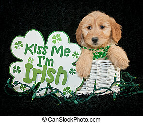 St Patrick's Day Puppy - A cute little red colored puppy...
