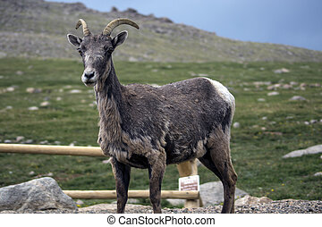 Mountain Goat (Oreamnos americanus) - Mountain goat watching...