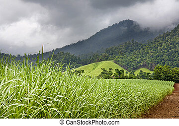 Young healthy sugar cane growing with cloudy sky and...
