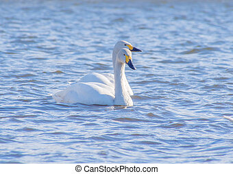 Two white swans sailing on a lake