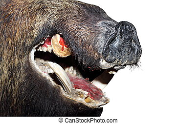 wild boar snout - detail of isolated wild boar snout ( sus...