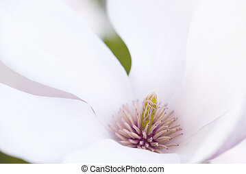 Flower Of A Magnolia Tree - Macro Shot Of The Stigma From A...