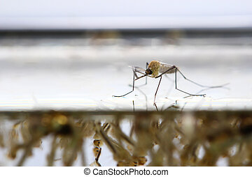 Mosquito's larva in water.