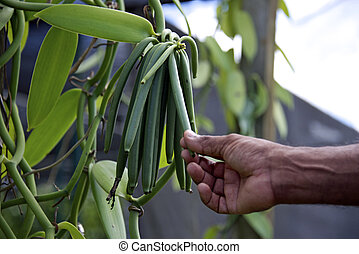 Vanilla on the vine - Vanilla bean plantation