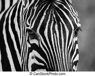 Zebra portrait in black and white - Detailed zebra portrait...
