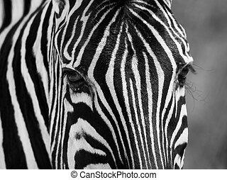 Zebra portrait in black and white - Detailed zebra portrait...