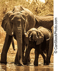 Elephants at water hole - Two african elephants at water...