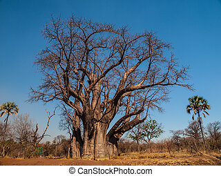 Big baobab tree near Victoria falls Zimbabwe