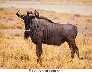 Blue wildebeest gnu - Blue wildebeest in savanna...