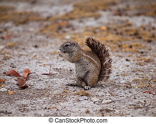 Cape ground squirrel - Eating Cape ground squirrel in dry...