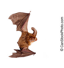 long-eared bat isolated on white - bat close up on a white...