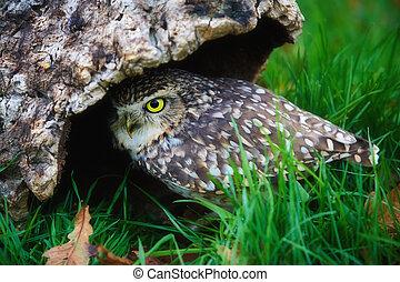 挖地洞, 貓頭鷹