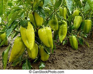 unripe sweet peppers growing in a garden