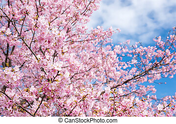 Cherry blossoms - Bright pink cherry blossoms under sky in...