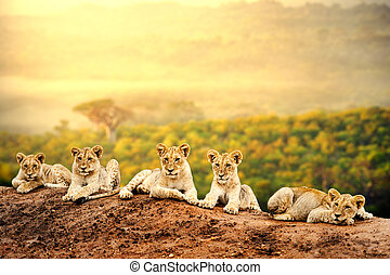 Lion cubs waiting together. - Close up of lion cubs laying...