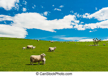 Sheep in the New Zealand - Common view in the New Zealand -...