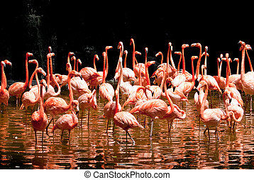 Pool of Flamingo - group of red south african flamingo in...