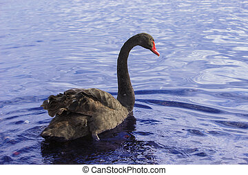 Black swan - A black swan is swimming in a lake