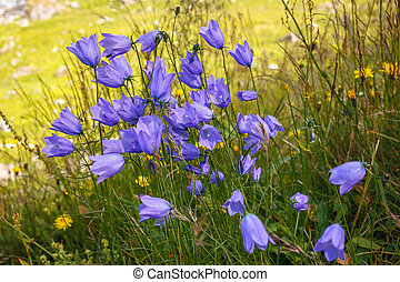 Wild flowers campanula in moutains