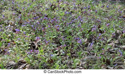 Lungwort flower herbal - Pulmonaria Lungwort colorful forest...